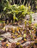 Eria siamensis, Eria lasiopetala, Bulbophyllum wallichii and Bulb. blepharistes on one rock