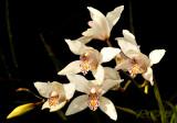 cymbidium insigne ssp. Seidenfadenii, blooming febr-mar. dry season