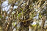 Otochilus fuscus habitat