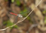 Lathrecista asiatica