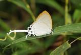 Common imperial, Cheritra freja