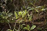 Eria siamensis, habitat Thai-Laos border, flowers 4 mm across, white with red lip