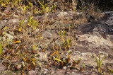 Orchids on sandstone (42 celcius)