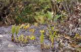 Orchids on sandstone