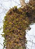 Tree covered with Bulbophyllum blepharistes