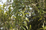 Staurochilus fasciatus buds on lime-stone cliff
