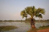 Trachycarpus sp.