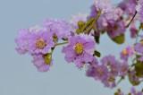 Blossem, Lagerstromia speciosa