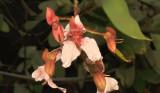 Bauhinia siamensis