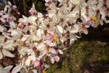 Bauhinia sp. previous picture