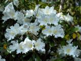 Rhododendron dendricola, close