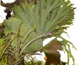 Dendrobium secundum in the shade of Platycerium bifurcatum