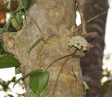 Wild Hoya, Phu soi dao