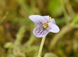 Botanische  violen