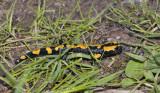 Vuursalamander, Salamandra salamandra