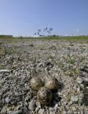 industriegebied, eieren scholekster, eggs oistercacher