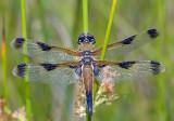 Viervlek, Libellula quadrimaculata var. praenubila