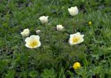 Alpen anemoon, Pulsatilla alpina