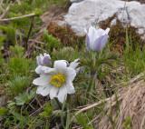 Oostenrijkse alpen anemoon, Pulsatilla alba