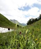 Zwarte vanille orchis en witte muggenorchis