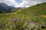 Vogelkop kartelblad, Arnica, zonneroosje en zw. vanille orchis, de bruine aartjes zijn levendbarende duizendknoop