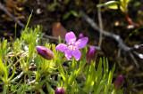 Androsaca alpina