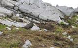Alpensneeuwhoen man