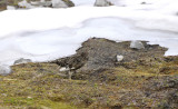 Alpensneeuwhoen vrouw