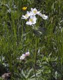Narcisanemoon, Anemone narcissiflora