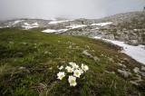 Alpenanemoon habitat. ook het habitat van Chamorchis alpina