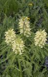 Pluimkartelblad, Pedicularis foliosa