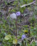 Soldanella minima, Primula familie