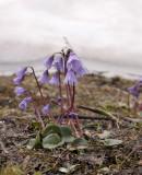 Soldanella alpina aan de rand van de sneeuw
