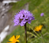 Kogel orchis close-up (Traunsteinera globosa)