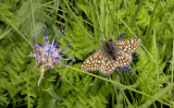 Moerasparelmoervlinder, bergvorm