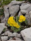 Primula auricula zonder wit hart