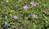 Primula halleri. syn. P. longiflora