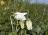 Campanula barbata, albino