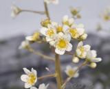 Saxifraga paniculata, close-up