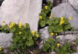 Viola biflora,