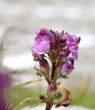 Vogelkop-kartelblad, Pedicularis rostratocapitata