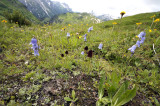 Zwarte vanilleorchis habitat, Gymnadenia nigra  ssp. austriaca
