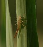 Lege larvenhuid lantaarntje