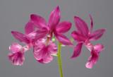 Calanthe Veitchii-rosea,  4 cm