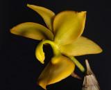 Cycnodes jumbo, flower 8 cm