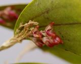 Trichosalpinx ciliaris, flowers  5 mm