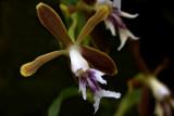 Oerstedella exasperata, flower  2.5 cm