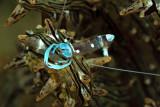 Blue periclemenes shrimp