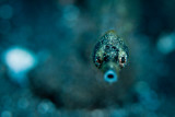 Short-Tailed Pipefish mouth open