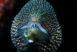 Whitemouth moray